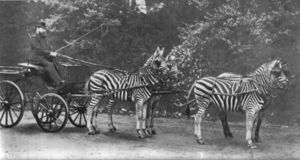 Team of four zebras harnesed to a cart, black-and-white photo