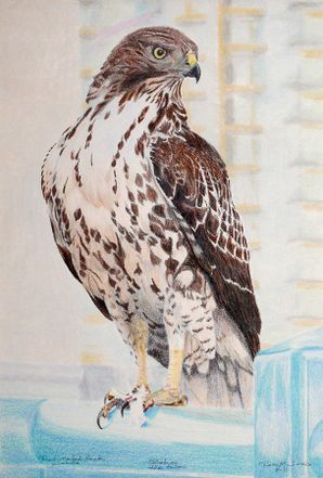 red-tailed-hawk-ross-michaels.jpg