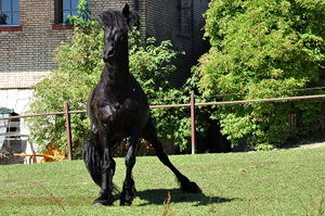 Black horse in motion, one hind leg outstretched