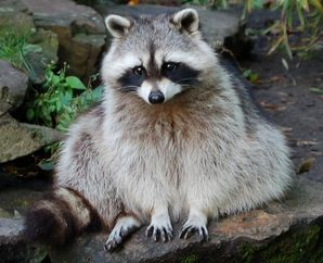 Rocky raccoon.jpg