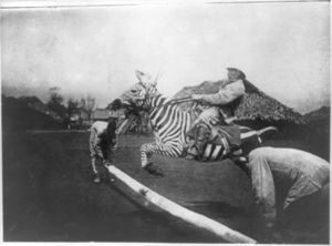 Zebra showjumping with a rider on its back, black-and-white photo